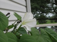 moonflower update 003