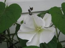 moonflower update 004
