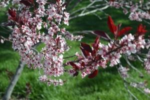 flowering plum 009